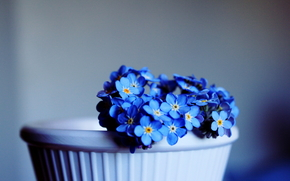 цветы, незабудки, голубые, горшок, фон