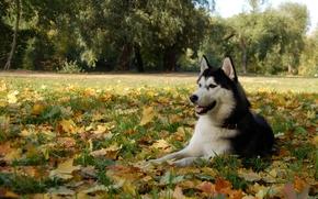 собака, пёс, хаски, маламут, листья
