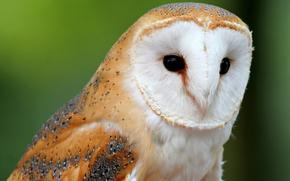 animals, Owl, barn-owl, wallpaper