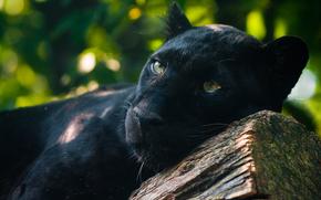Black Panther, predatore, , orologi
