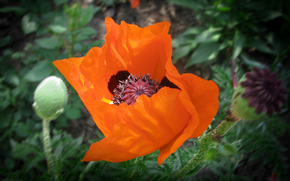 poppy, orange, bright, macro