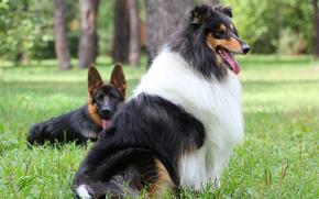 собака, пёс, колли, овчарка