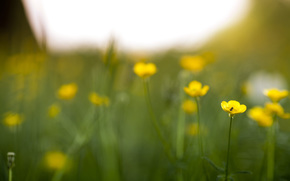 Flowers, yellow, midge, Plants, Field, grass, greens, brightness, field, meadow, spring, summer, nature