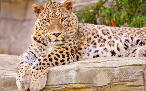 леопард, лежит, смотрит, пристально, пятнистый, лапы, морда, любопытство