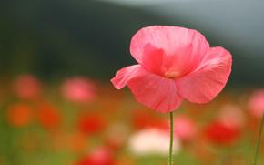 мак, цветок, розовый, лепестки, поле, поляна, лето, макро