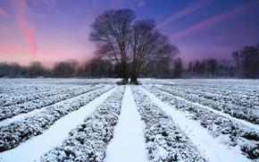 природа, поле, лаванда, зима, дерево, закат