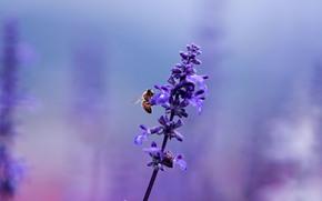 лаванда, цветок, растение, пчела, насекомое, сиреневый, фиолетовый, лиловый, цвет, поляна, размытость, макро