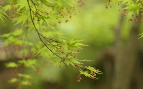 клен, листья, листики, зеленые, зелень, ветки, деревья, природа