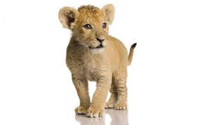 лев, львенок, катенок