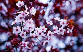 makrosemka, fiore, Macro, ciliegia