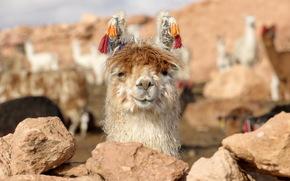 Lama, Bolivia, nature