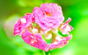 Kalanchoe, pink, green, macro