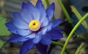 nnuphar, lotus, nnuphar