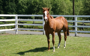 horse, horse, levade