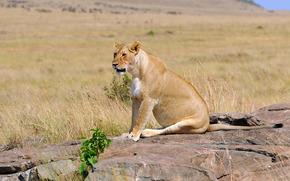 leonessa, savana, natura