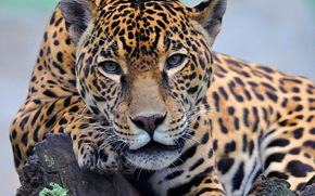 jaguar, is, paw, snout, looks