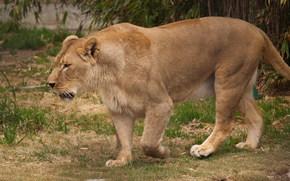 leone, leonessa, gatto