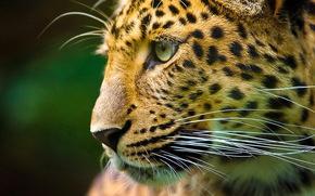 leopard, kitten, snout, mustache, looks, profile, spotted cat