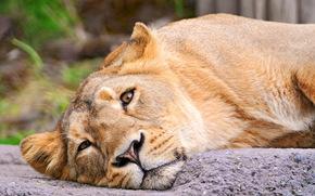 leone, leonessa, , guarda, grugno