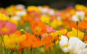 Coquelicots, Fleurs, Bourgeons, Ptales, orange, Jaune, Blanc, brillant, dcoule, champ, prairie, usine, printemps, Nature, fleurir