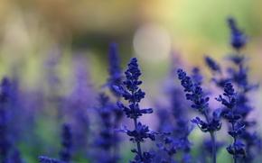 цветы, синие, лаванда, растения, поляна, лето, фон, размытость, свет, блики, природа, макро