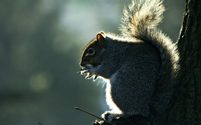 squirrel, tail, fluffy, tree, gray