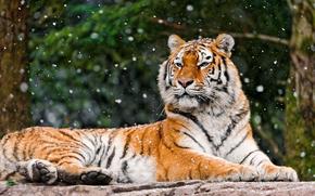 虎, 是, 样子, 吻部, 大条纹的猫, 石, 冬季, 雪, падает, 森林, 背景