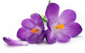 Flowers, Crocuses, Petals