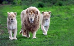 leone, Leonessa, orgoglio