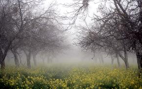 деревья, туман, рапс, природа