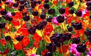 Tulipani, nero, aiuola