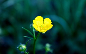 macro, flower, buttercup, stem, grass, yellow, green
