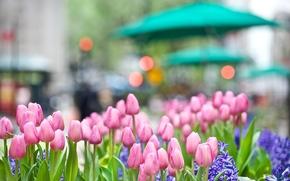 Tulipani, rosa, fiori, germoglio, giacinto, aiuola, citt, strada, semaforo, bagliore, luce, natura, primavera, Macro