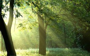 foresta, alberi, raggi, sole, natura