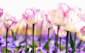 тюльпаны, цветы, стебли, бутоны, розовые, белые, сиреневые, фиолетовые, растения, природа, поляна, свет, весна, размытость, нежность