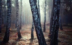 bosque, Abedul, luz