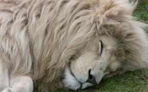 lion, White Lion, white