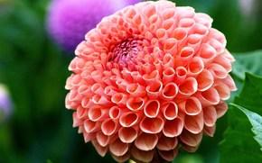 цветок, красота, георгин