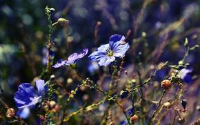Flowers, blue, blue, Plants, nature, bokeh, macro