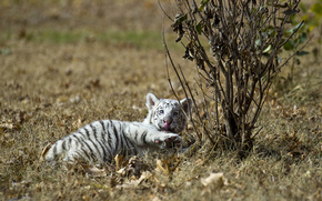 Белый, альбинос, тигр