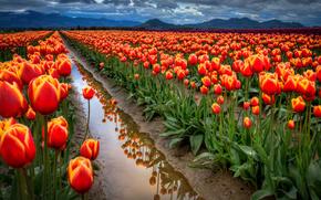 небо, облака, горы, поле, тюльпаны, вода, канава, отражение, вечер, пасмурно