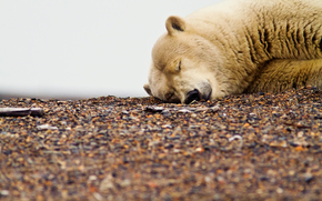белый, грязный, мишка, медведь, спит, галька, отдых, глобальное потипление