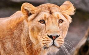 leonessa, predatore, triste spettacolo