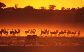 antilope, mandria, leonessa, animali, caccia, Africa, savana, tramonto