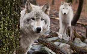 Wolves, two, tree, forest