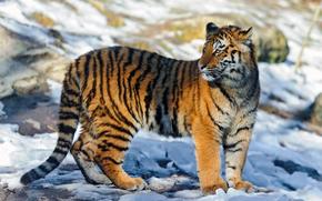 tigre, giovane, Vale la pena, guarda, ombra, luce, bagliore