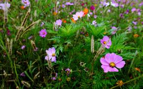 kosmeya, fiori, campo, spighette, erba, Macro, sfocatura
