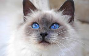 Кот, кошка, синеглазая, взгляд, Священная Бирма, бирманская, порода