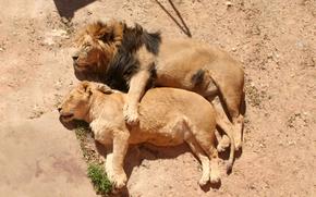 leone, criniera, leonessa, famiglia, sogno, riposo