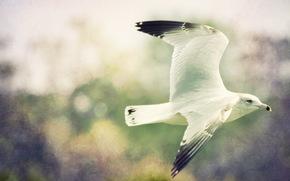uccello, gabbiano, Photoshop, volo